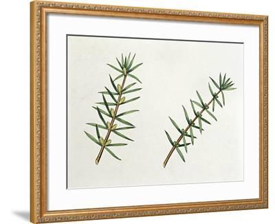 Botany, Trees, Cupressaceae, Male and Female Inflorescences of Common Juniper Juniperus Communis--Framed Giclee Print