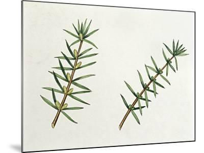 Botany, Trees, Cupressaceae, Male and Female Inflorescences of Common Juniper Juniperus Communis--Mounted Giclee Print