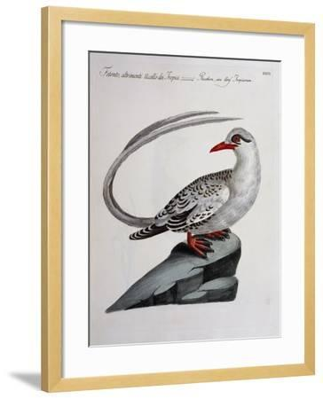 Red-Billed Tropicbird (Phaethon Aethereus), Coloured from History of Birds, 1767, Table 516--Framed Giclee Print