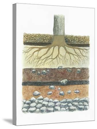 Botany, Tree Roots in Podzol Soil, Typical of Conifer Forests, Cross Section--Stretched Canvas Print