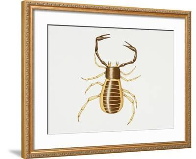Pseudoscorpion (Chelifer Cancroides), Arachnida, Artwork by Rebecca Hardy--Framed Giclee Print