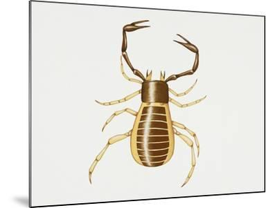 Pseudoscorpion (Chelifer Cancroides), Arachnida, Artwork by Rebecca Hardy--Mounted Giclee Print