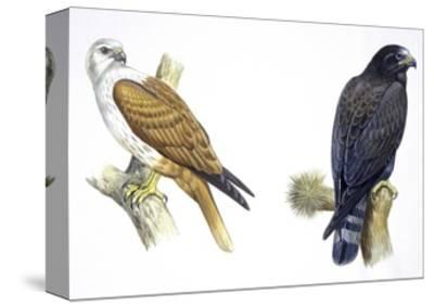 Birds: Falconiformes, Brahminy Kite (Haliastur Indus) and Zone-Tailed Hawk (Buteo Albonotatus)--Stretched Canvas Print