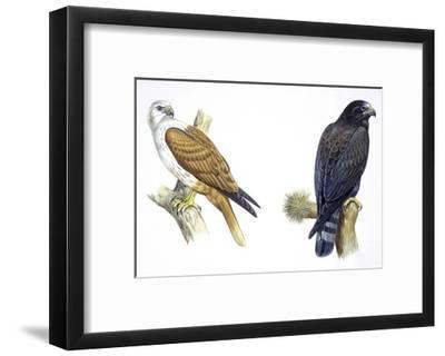 Birds: Falconiformes, Brahminy Kite (Haliastur Indus) and Zone-Tailed Hawk (Buteo Albonotatus)--Framed Giclee Print