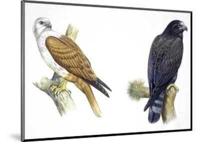 Birds: Falconiformes, Brahminy Kite (Haliastur Indus) and Zone-Tailed Hawk (Buteo Albonotatus)--Mounted Giclee Print