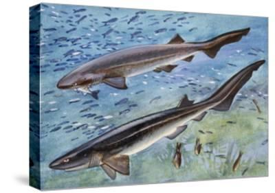 Bluntnose Sixgill Shark or Cow Shark (Hexanchus Griseu), Hexanchidae--Stretched Canvas Print