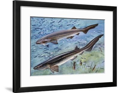 Bluntnose Sixgill Shark or Cow Shark (Hexanchus Griseu), Hexanchidae--Framed Giclee Print
