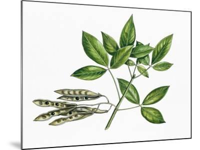 Botany, Trees, Fabaceae, Trifoliate Leaves and Fruits of Common Laburnum Laburnum Anagyroides--Mounted Giclee Print