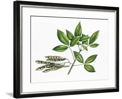 Botany, Trees, Fabaceae, Trifoliate Leaves and Fruits of Common Laburnum Laburnum Anagyroides--Framed Giclee Print