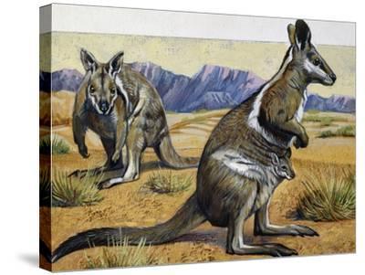 Bridled Nail-Tail Wallaby or Flashjack (Onychogalea Fraenata), Macropodidae--Stretched Canvas Print