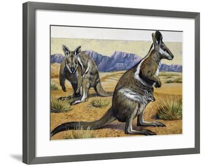 Bridled Nail-Tail Wallaby or Flashjack (Onychogalea Fraenata), Macropodidae--Framed Giclee Print