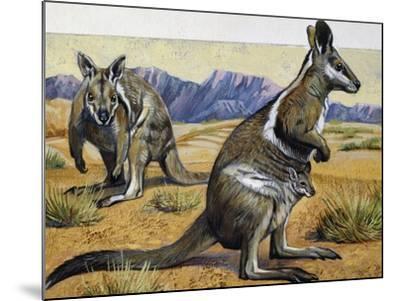 Bridled Nail-Tail Wallaby or Flashjack (Onychogalea Fraenata), Macropodidae--Mounted Giclee Print