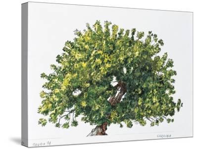 Botany, Trees, Fabaceae, Carob Tree or St John's Bread Ceratonia Siliqua--Stretched Canvas Print