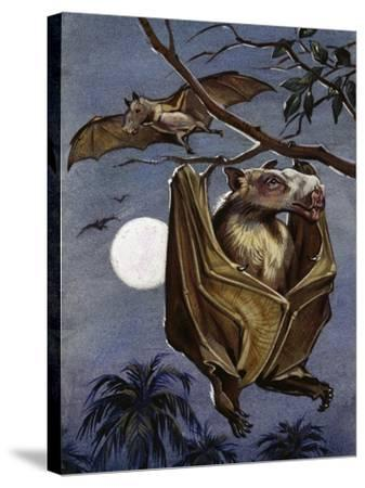 Hammer-Headed Bat or Big-Lipped Bat (Hypsignathus Monstrosus), Pteropodidae--Stretched Canvas Print