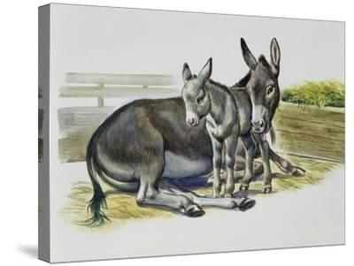 Foal and Jenny of African Wild Ass or African Wild Donkey (Equus Africanus), Equidae--Stretched Canvas Print