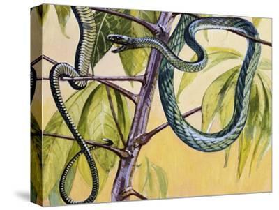 Western Green Mamba or Hallowell's Green Mamba (Dendroaspis Viridis), Elapidae--Stretched Canvas Print