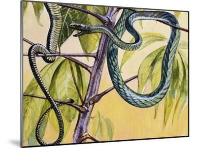 Western Green Mamba or Hallowell's Green Mamba (Dendroaspis Viridis), Elapidae--Mounted Giclee Print