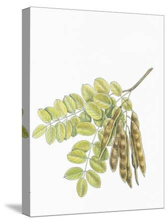 Botany, Trees, Fabaceae, Leaves and Fruits of Robinia Robinia Pseudoacacia--Stretched Canvas Print