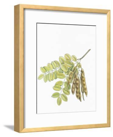 Botany, Trees, Fabaceae, Leaves and Fruits of Robinia Robinia Pseudoacacia--Framed Giclee Print