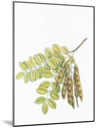 Botany, Trees, Fabaceae, Leaves and Fruits of Robinia Robinia Pseudoacacia--Mounted Giclee Print