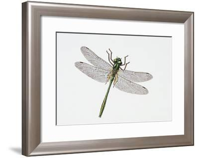 Downy Emerald Dragonfly (Cordulia Aenea), Corduliidae. Artwork by Sandra Pond--Framed Giclee Print