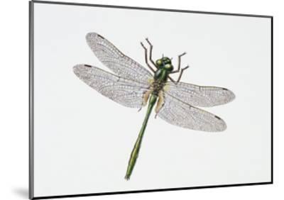 Downy Emerald Dragonfly (Cordulia Aenea), Corduliidae. Artwork by Sandra Pond--Mounted Giclee Print