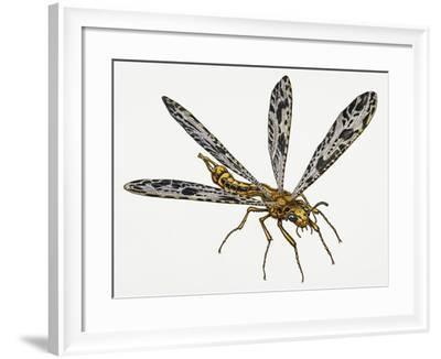 Giant Ant Lion (Palpares Libelluloides), Myrmeleonidae. Artwork by Neil Lloyd--Framed Giclee Print