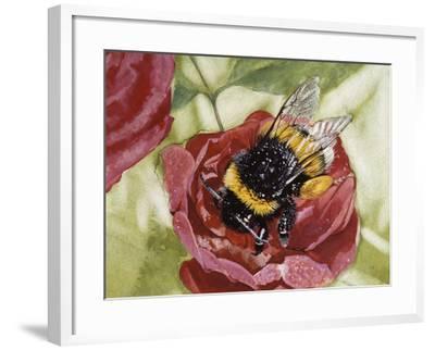 Buff-Tailed Bumblebee or Large Earth Bumblebee (Bombus Terrestris), Apidae--Framed Giclee Print