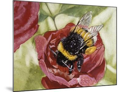 Buff-Tailed Bumblebee or Large Earth Bumblebee (Bombus Terrestris), Apidae--Mounted Giclee Print