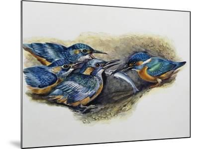 Female Common Kingfisher Feeding Her Young (Alcedo Atthis), Alcedinidae--Mounted Giclee Print