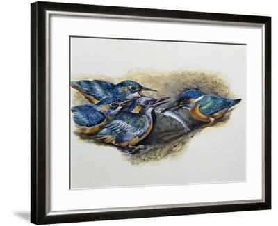 Female Common Kingfisher Feeding Her Young (Alcedo Atthis), Alcedinidae--Framed Giclee Print
