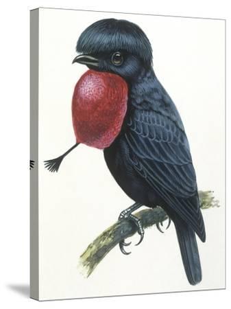 Birds, Passeriformes, Amazonian Umbrellabird, (Cephalopterus Ornatus)--Stretched Canvas Print