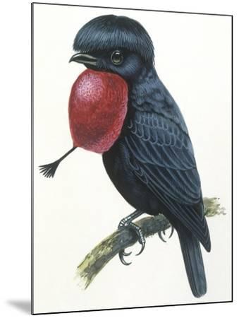 Birds, Passeriformes, Amazonian Umbrellabird, (Cephalopterus Ornatus)--Mounted Giclee Print