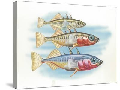 Three-Spined Stickleback Gasterosteus Aculeatus, Males Changing Color in Breeding Season--Stretched Canvas Print