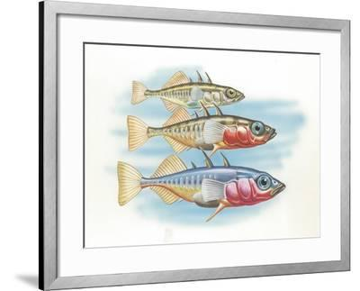 Three-Spined Stickleback Gasterosteus Aculeatus, Males Changing Color in Breeding Season--Framed Giclee Print