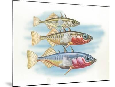 Three-Spined Stickleback Gasterosteus Aculeatus, Males Changing Color in Breeding Season--Mounted Giclee Print