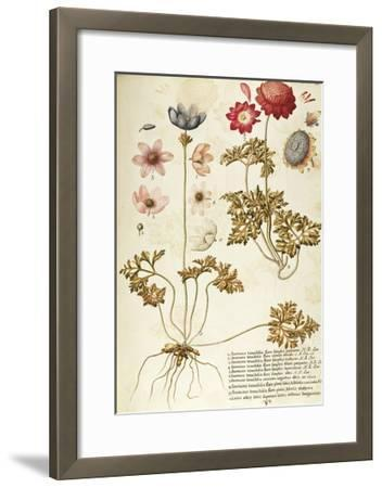 Wind Flower (Anemone Pavonina), Ranunculaceae by Francesco Peyrolery, Watercolour, 1753--Framed Giclee Print
