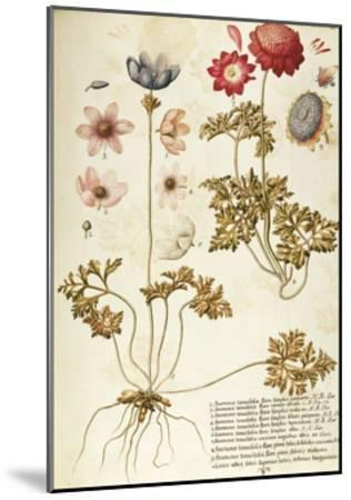 Wind Flower (Anemone Pavonina), Ranunculaceae by Francesco Peyrolery, Watercolour, 1753--Mounted Giclee Print