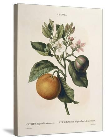 Bitter Orange (Citrus Aurantium) with Violet Fruit by Pierre Joseph Redoute (1759-1840)--Stretched Canvas Print