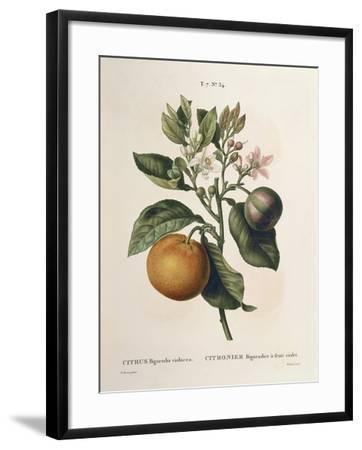 Bitter Orange (Citrus Aurantium) with Violet Fruit by Pierre Joseph Redoute (1759-1840)--Framed Giclee Print