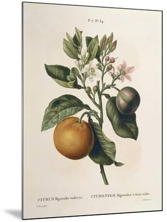 Bitter Orange (Citrus Aurantium) with Violet Fruit by Pierre Joseph Redoute (1759-1840)--Mounted Giclee Print