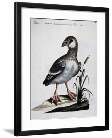 Dovekie (Alle Alle), Coloured Is from History of Birds, 1767, Table 550--Framed Giclee Print