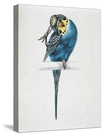 Close-Up of a Budgerigar Perching on a Branch and Scratching its Head (Melopsittacus Undulatus)--Stretched Canvas Print