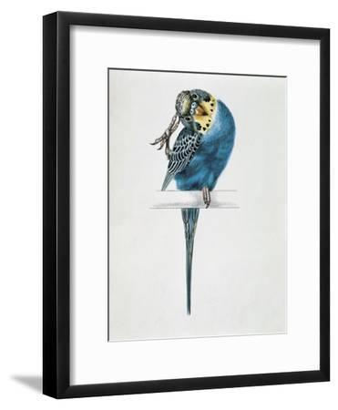 Close-Up of a Budgerigar Perching on a Branch and Scratching its Head (Melopsittacus Undulatus)--Framed Giclee Print