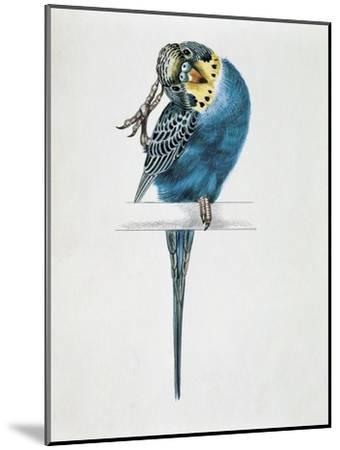 Close-Up of a Budgerigar Perching on a Branch and Scratching its Head (Melopsittacus Undulatus)--Mounted Giclee Print