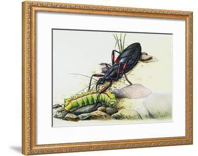Assassin Bug (Rhynocoris Sp), Reduviidae, with Caterpillar. Artwork by Colin Newman--Framed Giclee Print