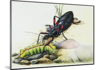 Assassin Bug (Rhynocoris Sp), Reduviidae, with Caterpillar. Artwork by Colin Newman--Mounted Giclee Print