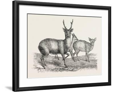 The Earl of Derby's Menagerie, at Knowsley, Uk: Male and Female Hog Deer--Framed Giclee Print