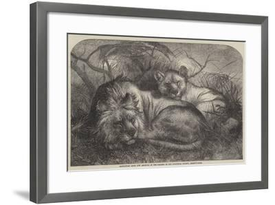 Babylonian Lions Just Received at the Gardens of the Zoological Society, Regent'S-Park--Framed Giclee Print