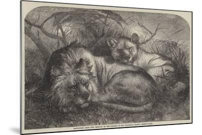 Babylonian Lions Just Received at the Gardens of the Zoological Society, Regent'S-Park--Mounted Giclee Print